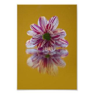 Gerbera rayado del rosa y blanco de la margarita fotografía