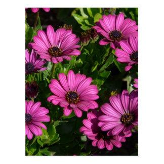 Gerbera rosado tarjeta postal