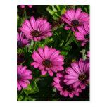 Gerbera rosado tarjetas postales