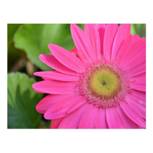Gerberas rosados bonitos postal