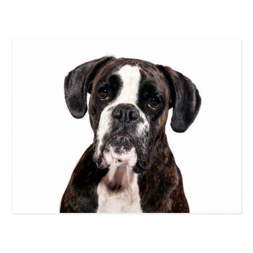 German boxer/German boxer/dogs/dogs Postcard
