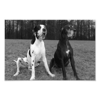 German Dogge, great dane, Hunde, Dogue Allemand Photo Print