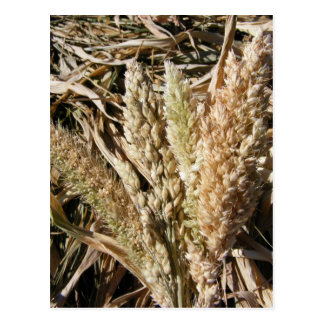 German Millet & Sorghum Postcard