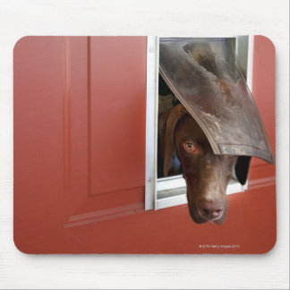 German pointer looking outside, through doggie mouse pad