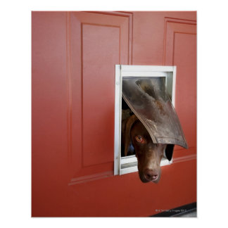 German pointer looking outside, through doggie poster