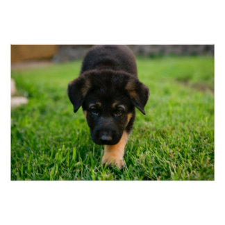 German Shepard Puppy Photograph Poster