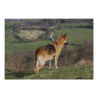 German Shephard Looking Down Hill Poster