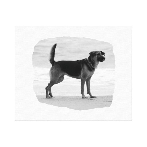 German Shepherd bw beach stand tongue out Canvas Prints
