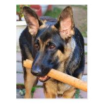 German Shepherd by Shirley Taylor Postcard