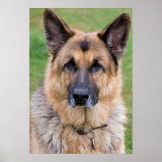 German Shepherd dog beautiful photo print, poster