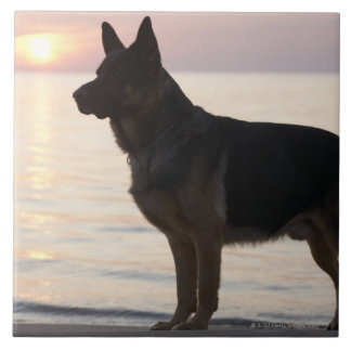 German Shepherd dog on Georgian Bay, Ontario, Large Square Tile