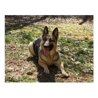 German Shepherd Dog Postcard