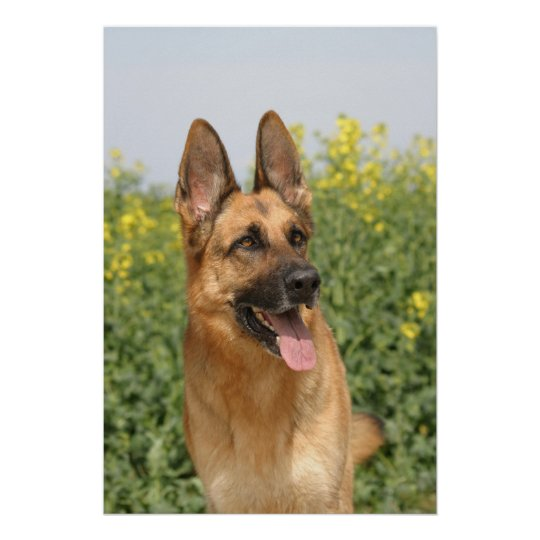 German Shepherd Dog poster print