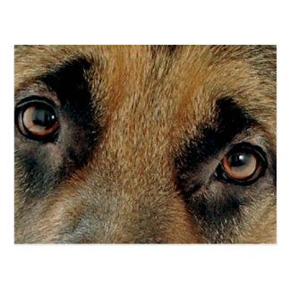 german shepherd eyes postcard
