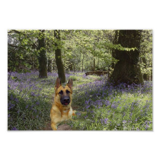 German Shepherd Forest Poster