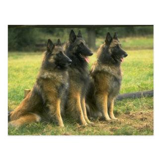 German Shepherd Gifts Postcard