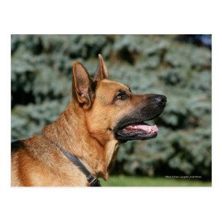 German Shepherd Headshot 1 Postcard