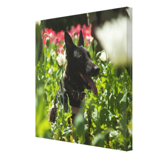 German Shepherd in a Field Stretched Canvas Print
