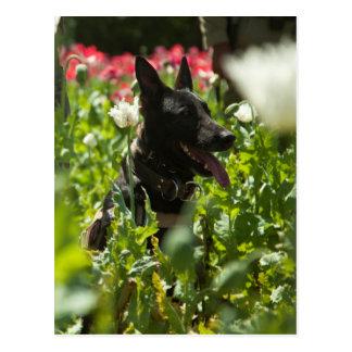 German Shepherd in a Field Post Cards