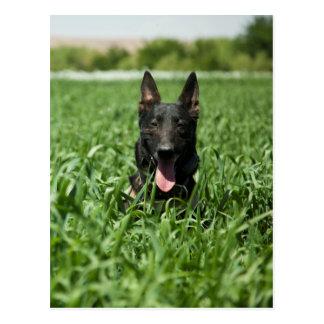 German Shepherd in The Fields Postcard