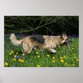 German Shepherd in Yellow Flowers Poster