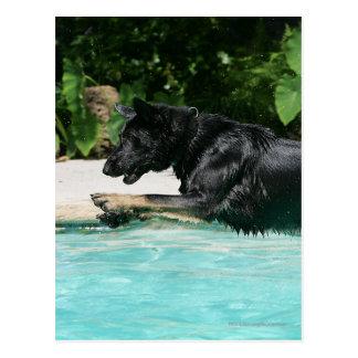 German Shepherd Jumping in Water Post Cards