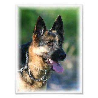 German Shepherd Photograph