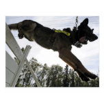 German Shepherd Police Dog Training Postcard