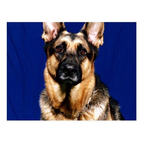 German Shepherd Portrait Postcard
