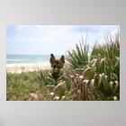 German Shepherd Poster Beachgrass