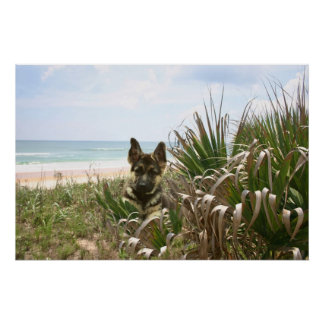 German Shepherd Poster Beachgrass