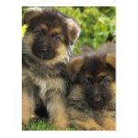 German Shepherd Puppies Post Cards