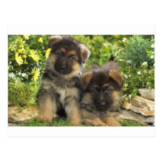 German Shepherd Puppies Postcard