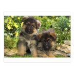 German Shepherd Puppies Postcards