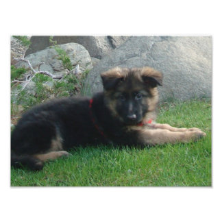 german shepherd puppy laying 2.png photo print