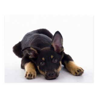German Shepherd Puppy Post Cards