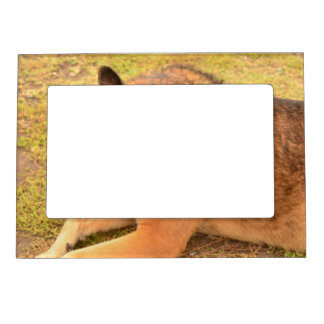 German Shepherd with One Floppy Ear Magnetic Picture Frame