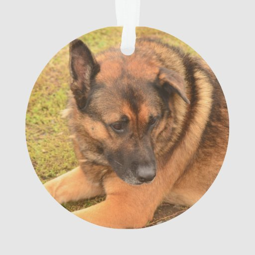 german shepherd with floppy ears german shepherd with one floppy ear ornament zazzle 952