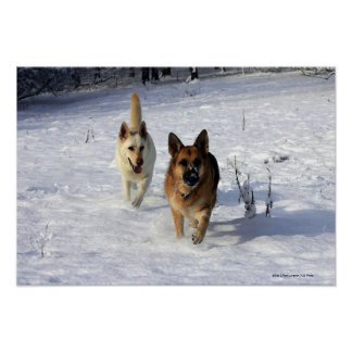 German Shepherds Running in the Snow Poster