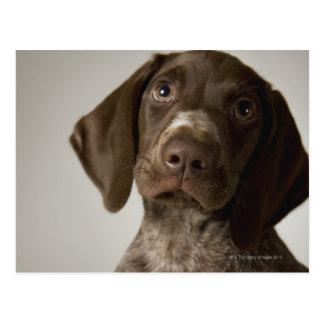 German Short-Haired Pointer puppy Postcard