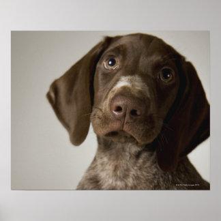 German Short-Haired Pointer puppy Poster