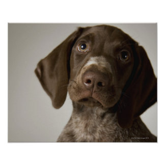 German Short-Haired Pointer puppy Poster