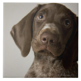 German Short-Haired Pointer puppy Tile