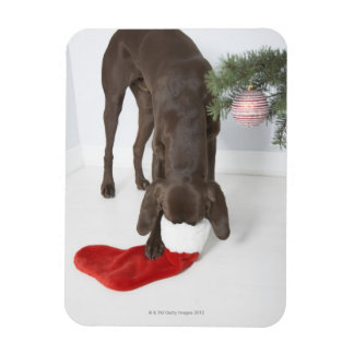 German short-haired pointer sticking snout in magnet