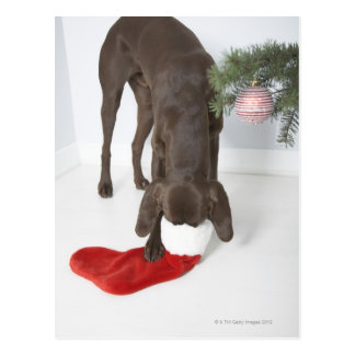 German short-haired pointer sticking snout in postcard