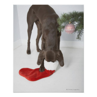 German short-haired pointer sticking snout in print