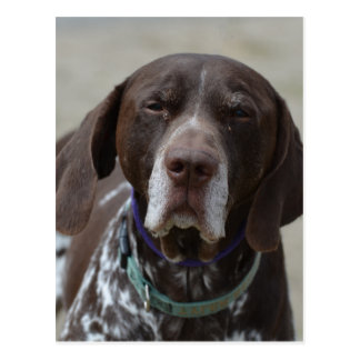 German Shorthaired Pointer Dog Postcard