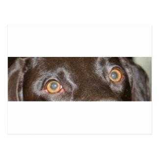 german shorthaired pointer eyes postcard