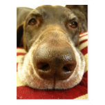 german shorthaired pointer nose postcard