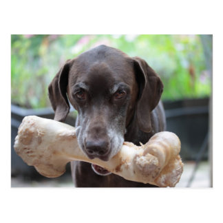German shorthaired pointer with bone postcard